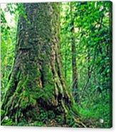 The Big Sycamore Tree Acrylic Print