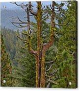 The Big Tree Fork Acrylic Print