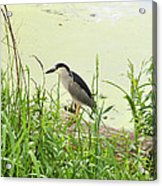 The Black-crowned Night Heron Acrylic Print
