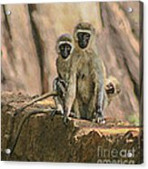 The Black-faced Vervet Monkey Acrylic Print