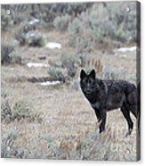 The Black Wolf Acrylic Print
