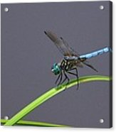 The Blue Dasher Acrylic Print