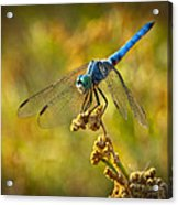 The Blue Dragonfly  Acrylic Print