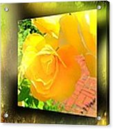 The Blushing Yellow Rose Acrylic Print