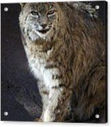 The Bobcat Acrylic Print by Saija  Lehtonen