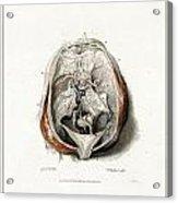 The Brain Circa 1802 Acrylic Print