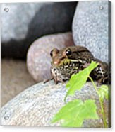 The Bronze Frog Acrylic Print