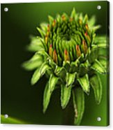 The Bud Is Prettier Than The Bloom Acrylic Print