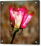 The Bud Acrylic Print by Robert Bales