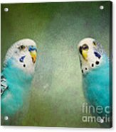 The Budgie Collection - Budgie Pair Acrylic Print
