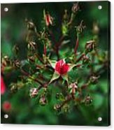 The Bud's For You Acrylic Print