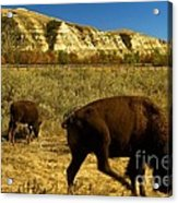 The Buffalo Dance Acrylic Print