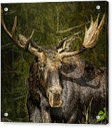 The Bull Moose Acrylic Print