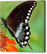 The Butterfly And The Zinnia Acrylic Print