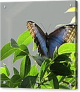 The Butterfly Displaying Its Beauty Acrylic Print