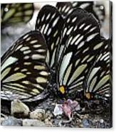 The Butterfly Gathering Acrylic Print