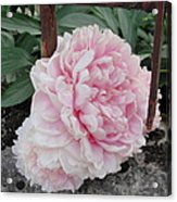 The Buxom Cabbage Rose Acrylic Print