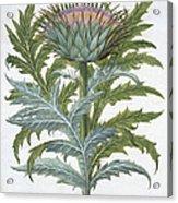 The Cardoon, From The Hortus Acrylic Print