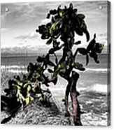 The Catus Tree Siesta Key Florida Acrylic Print