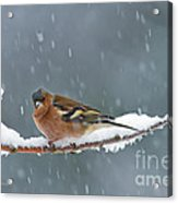 The Chaffinch Acrylic Print