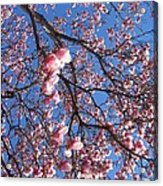 The Cherry Blossons Acrylic Print