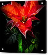 The Christmas Flower - Poinsettia Acrylic Print