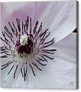 The Clematis Flower Acrylic Print