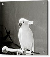 The Cockatoo Acrylic Print