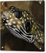 The Colorful Fish Acrylic Print
