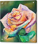 The Colors Of A Rose Acrylic Print