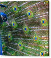 The Colours Of The Peacock Acrylic Print