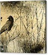 The Common Crow Acrylic Print