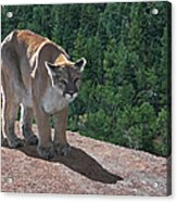The Cougar 1 Acrylic Print
