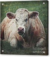 The Cow Acrylic Print