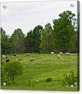 The Cows Of May Acrylic Print