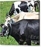 The Cows Acrylic Print