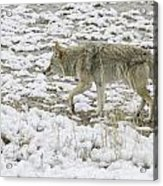 The Coyote Acrylic Print