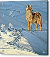 the Coyote - God's Dog Acrylic Print by Paul Krapf