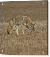 The Coyotes Acrylic Print