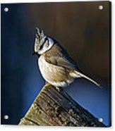 The Crested Tit In The Sun Acrylic Print