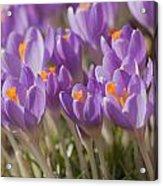 The Crocus Flowers  Acrylic Print