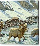 The Crossing - Bighorn Acrylic Print