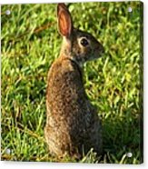 The Curious Rabbit Acrylic Print