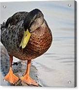 The Cute Brown Duck Acrylic Print