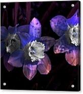 The Daffodil Trio Acrylic Print