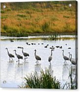 The Dance Of The Sandhill Cranes Acrylic Print