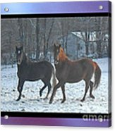 The Dancing Paso Fino Stallions Acrylic Print