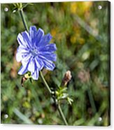 The Delicate Baby Blue Chickory Acrylic Print