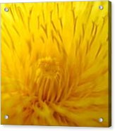 The Detail Is In The Dandelion Acrylic Print