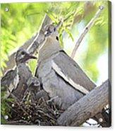 The Dove Family  Acrylic Print